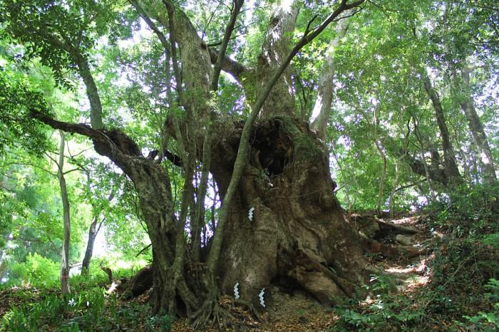 高原熊野神社の巨木