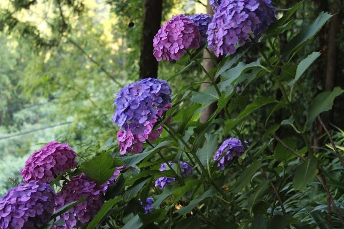 高原熊野神社の前の紫陽花