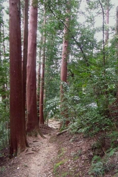 赤い幹の木立