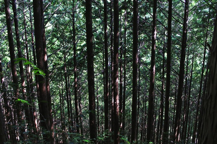 斜面を覆う人工林